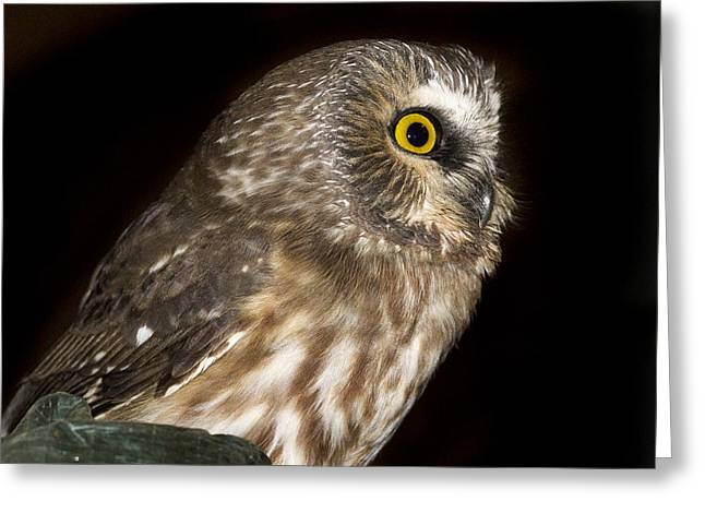 Wide-eyed Greeting Cards - Saw-Whet Profile Greeting Card by Jean Noren