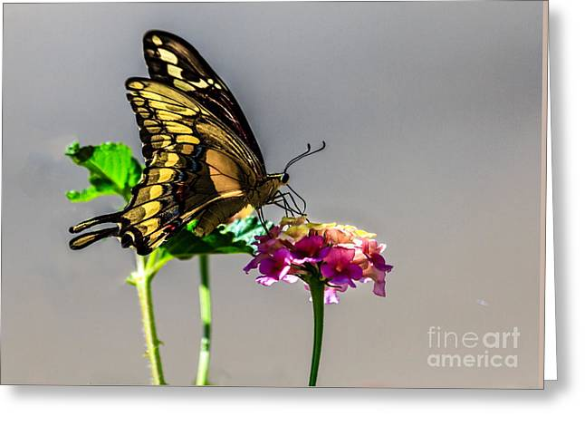 Common Tiger Butterfly Greeting Cards - Sawallowtail Butterfly Greeting Card by Robert Bales