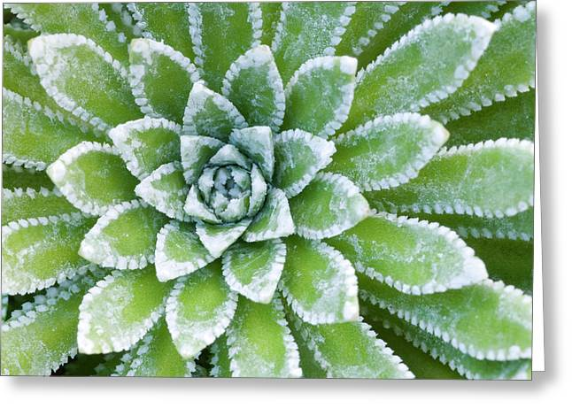 Saxifraga 'esther' Leaves Abstract Greeting Card by Nigel Downer
