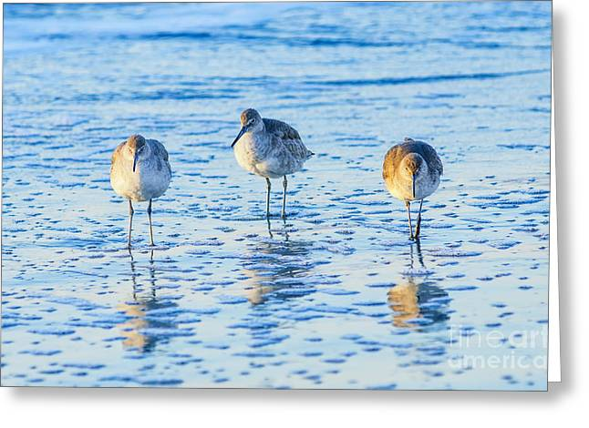 Shorebirds Greeting Cards - SC Willets Greeting Card by Anthony Heflin
