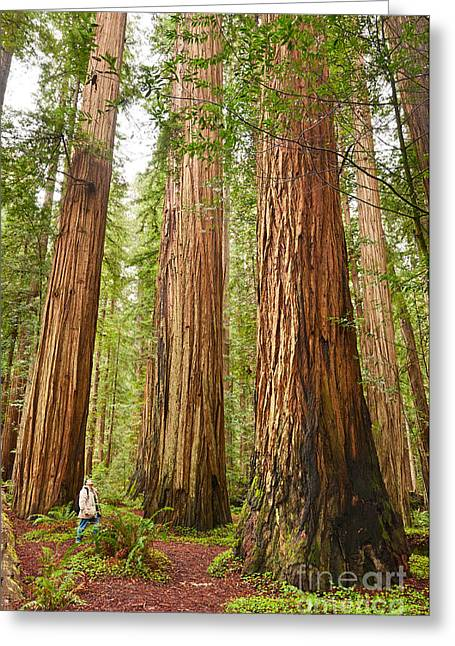 Tall Trees Greeting Cards - Scale - The beautiful and massive giant redwoods Sequoia sempervirens in Redwood National Park. Greeting Card by Jamie Pham