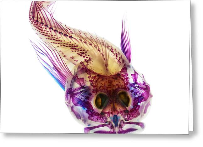 Skeleton Greeting Cards - Scalyhead Sculpin Greeting Card by Adam Summers