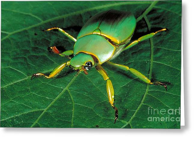 Sca Greeting Cards - Scarab Beetle Greeting Card by Gregory G. Dimijian