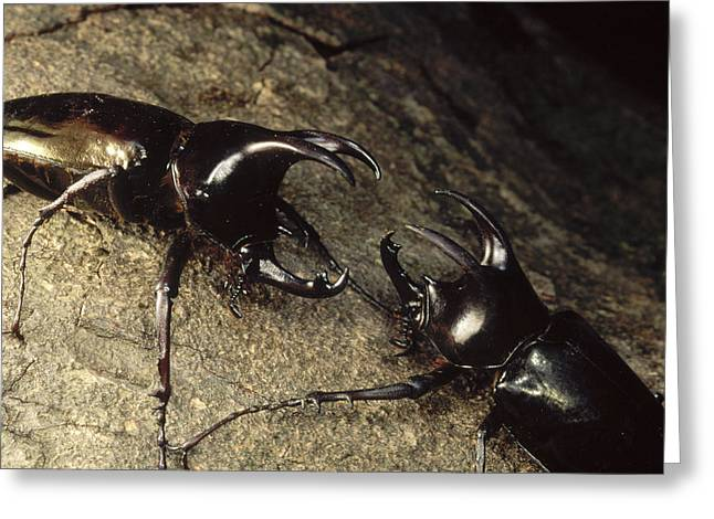 Scarab Greeting Cards - Scarab Beetle Pair Fighting  Borneo Greeting Card by Mark Moffett