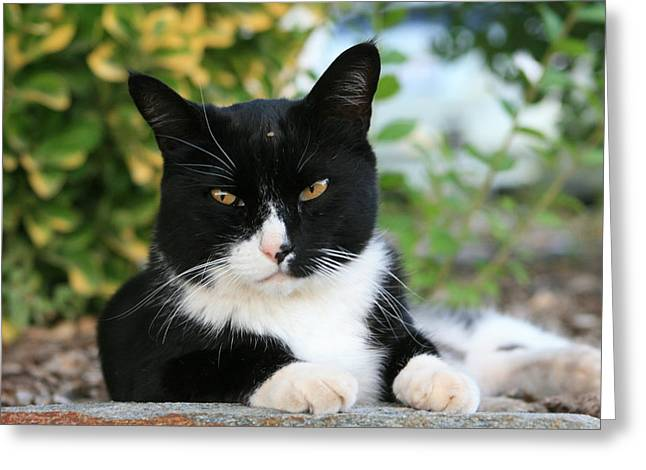 Marsha Ingrao Greeting Cards - Scardy Kitty Rests His Case Greeting Card by Marsha Ingrao