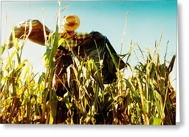 Corn Maze Greeting Cards - Scarecrow In A Corn Field, Queens Greeting Card by Panoramic Images