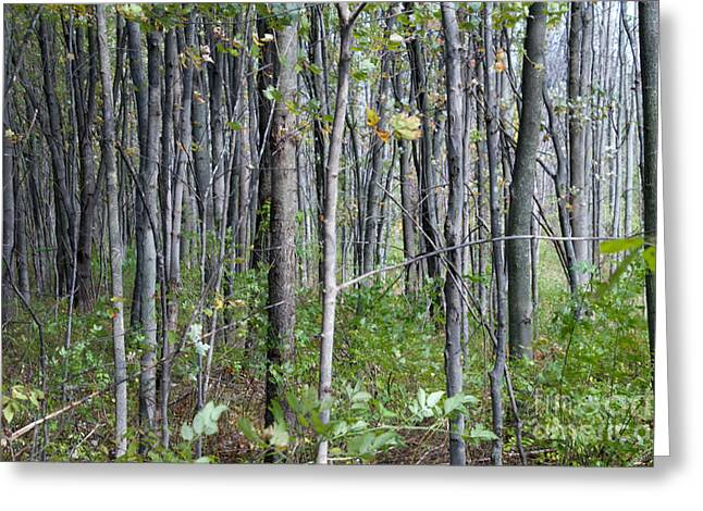 Sacred Grove Greeting Cards - Scared Grove Greeting Card by William Norton