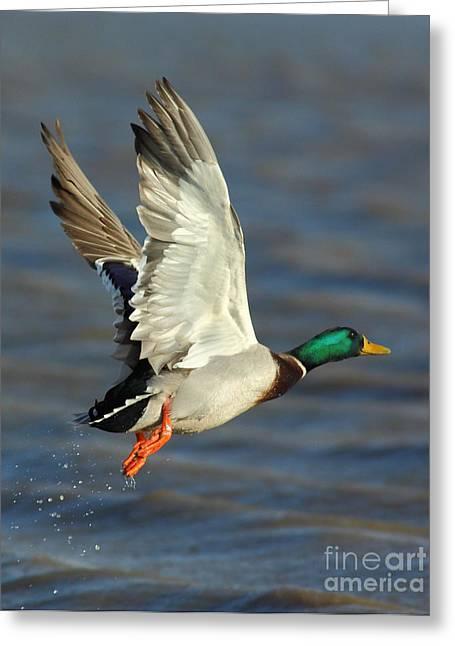 Bird Shot Greeting Cards - Scared Mallard Drake Greeting Card by Robert Frederick