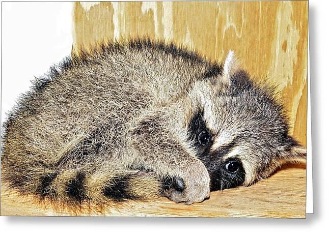Scared Raccoon Greeting Card by Susan Leggett