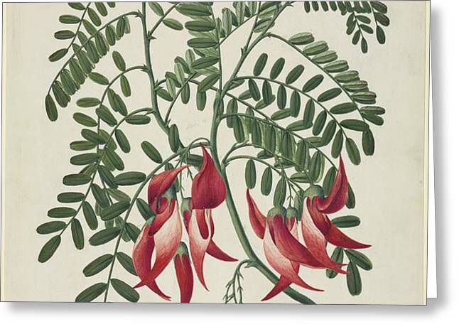 Scarlet clianthus (Clianthus puniceus) Greeting Card by Science Photo Library
