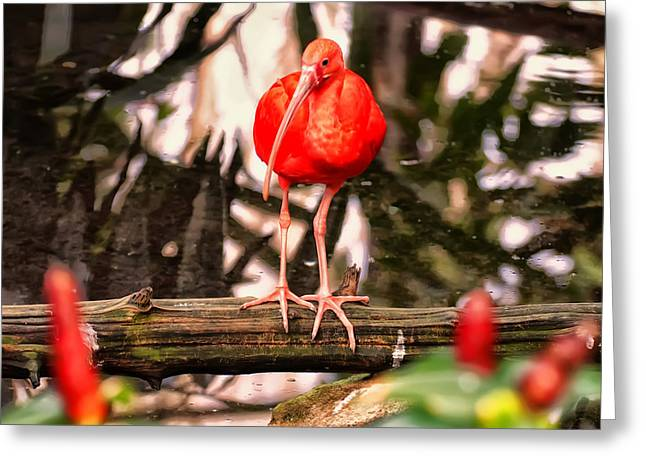 Bird Pictures Greeting Cards - Scarlet Ibis in a pond Greeting Card by Chris Flees