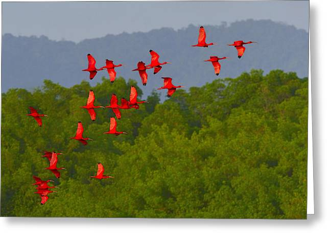 Mangrove Forests Greeting Cards - Scarlet Ibis Greeting Card by Tony Beck