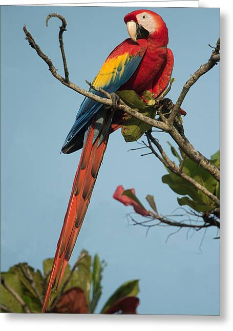 Scarlet Macaw Ara Macao, Tarcoles Greeting Card by Panoramic Images