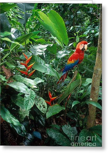 Macaw Greeting Cards - Scarlet Macaw Greeting Card by Art Wolfe