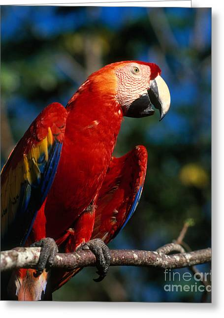 Scarlet Macaw Greeting Cards - Scarlet Macaw Greeting Card by Hans Reinhard