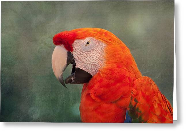 Scarlet Macaw Greeting Card by Kim Hojnacki