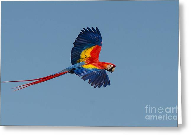 Costa Greeting Cards - Scarlet Macaw Greeting Card by Richard J Green