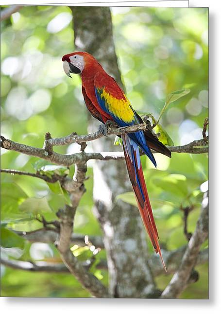 Neotropics Greeting Cards - Scarlet macaw Greeting Card by Science Photo Library