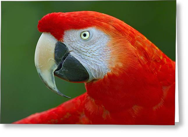 Scarlet Macaw Greeting Cards - Scarlet Macaw Greeting Card by Tony Beck