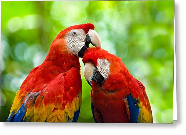 Macaw Art Print Greeting Cards - Scarlet Macaws Greeting Card by Chuck Underwood