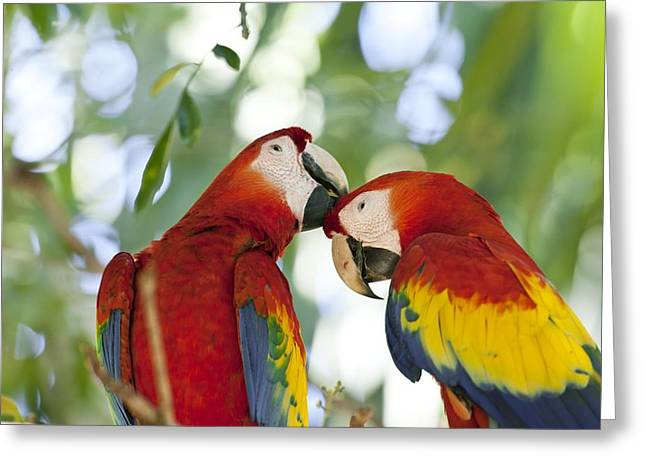Socialize Greeting Cards - Scarlet macaws Greeting Card by Science Photo Library