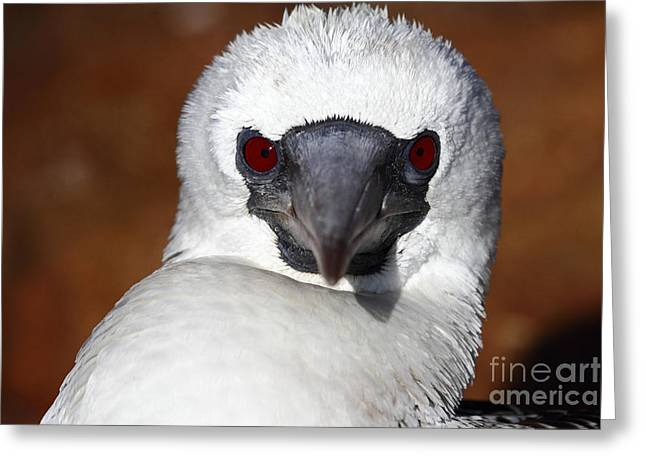 Scarlet Stare Greeting Card by James Brunker