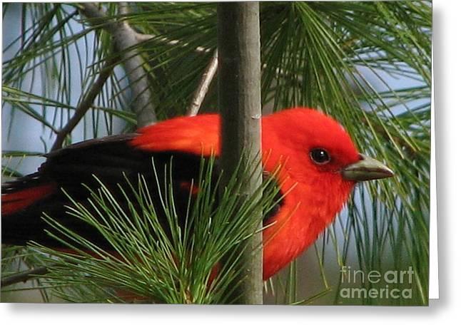 Scarlet Tanager Greeting Card by Nancy TeWinkel Lauren