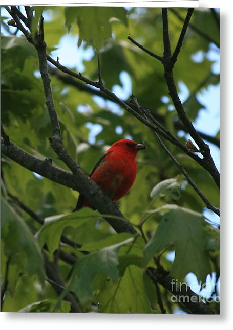Bird Photography Greeting Cards - Scarlet Tanager  Greeting Card by Neal  Eslinger