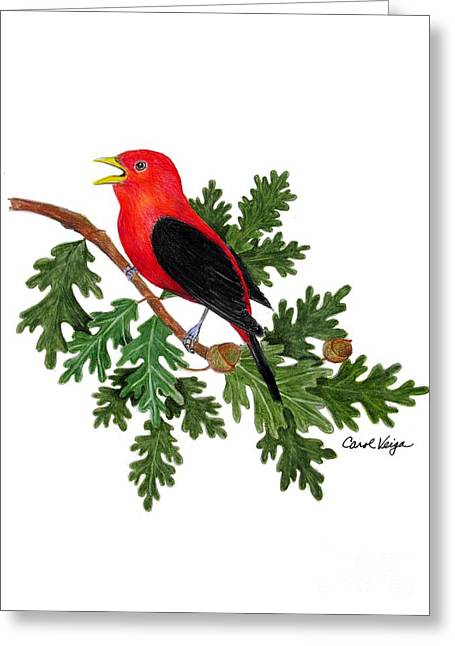Bird On Tree Drawings Greeting Cards - Scarlet Tanager on  Oak Branch Greeting Card by Carol Veiga