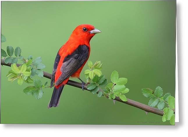 Red Photographs Pyrography Greeting Cards - Scarlet Tananger on Briar Greeting Card by Daniel Behm