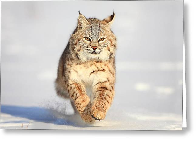 Bobcats Greeting Cards - Scat Kat Greeting Card by Steve Hinch