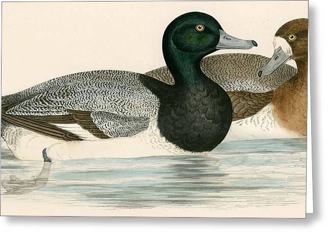 Hunting Bird Greeting Cards - Scaup Duck Greeting Card by Beverley R. Morris