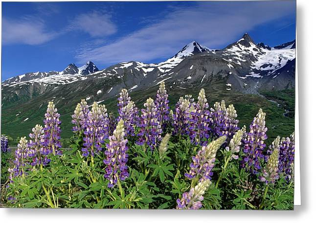 Beautiful Scenery Greeting Cards - Scenic Of Lupine & Chugach Mts At Greeting Card by Michael DeYoung