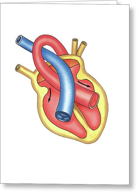 Schema Of Isotonic Diastole Greeting Card by Asklepios Medical Atlas
