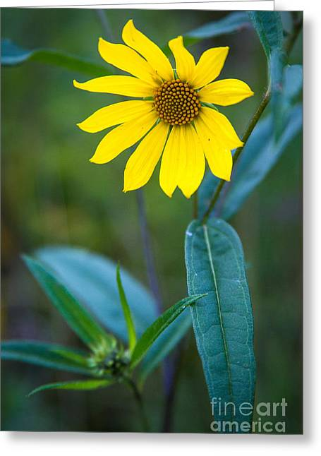Nature Center Greeting Cards - Schlitz Sunflower Greeting Card by Andrew Slater