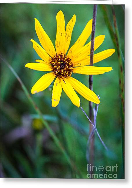 Nature Center Greeting Cards - Schlitz Wild Flower Greeting Card by Andrew Slater