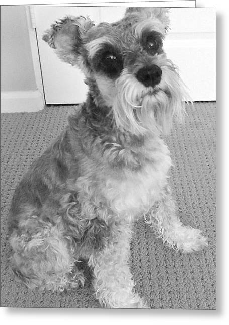 Spunky Greeting Cards - Schnauzer 5 Greeting Card by Ron Kandt