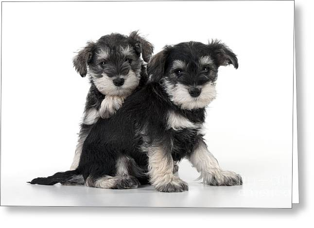 Cute Schnauzer Greeting Cards - Schnauzer Puppy Dogs Greeting Card by John Daniels