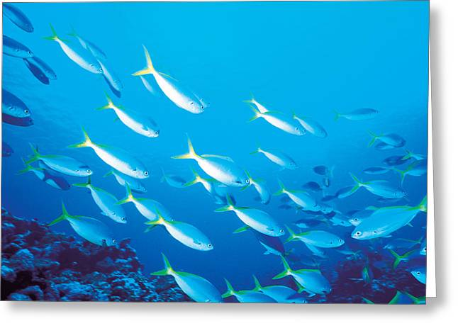 Undersea Photography Greeting Cards - School Of Fish, Underwater Greeting Card by Panoramic Images
