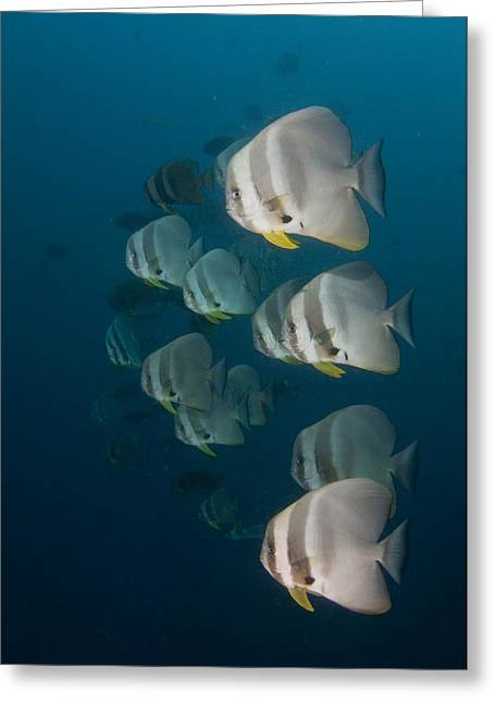 Spadefish Greeting Cards - School of longfin spadefish Greeting Card by Science Photo Library