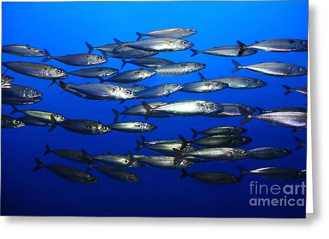 Recently Sold -  - Snorkel Greeting Cards - School of Pacific Sardines 5D24927 Greeting Card by Wingsdomain Art and Photography