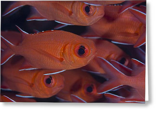 Vittata Greeting Cards - School of red soldierfish Greeting Card by Science Photo Library