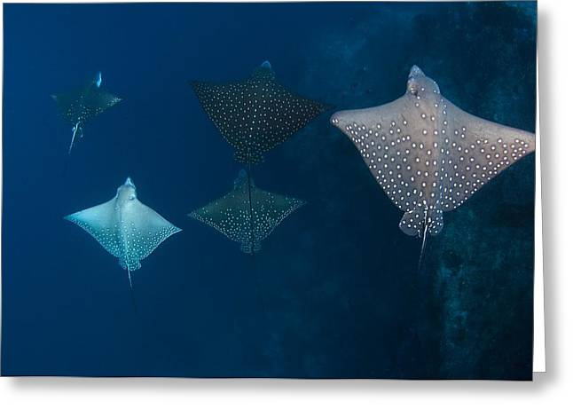 Spotted Blue Fish Greeting Cards - School of spotted eagle ray Greeting Card by Science Photo Library