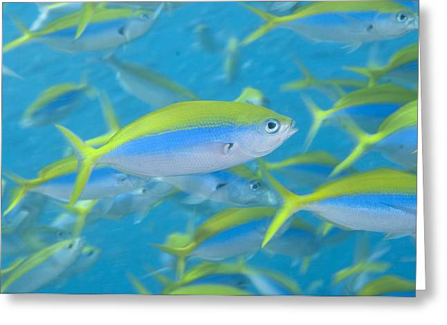 Fusilier Fish Greeting Cards - School of yellowback fusilier Greeting Card by Science Photo Library