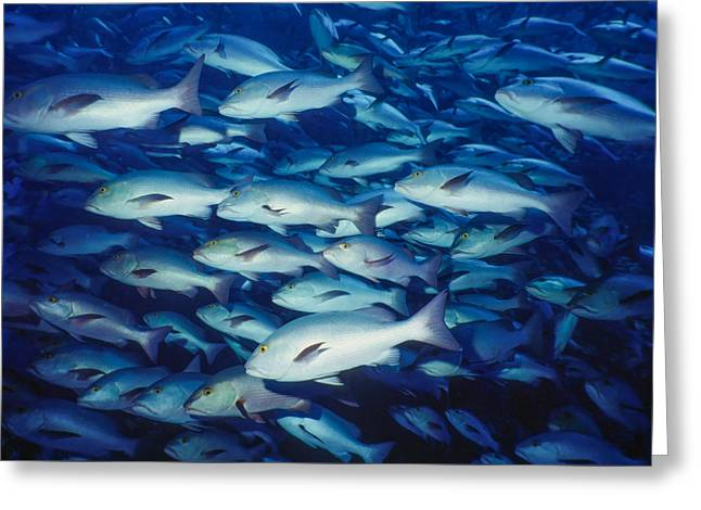 Undersea Photography Greeting Cards - Schooling Fish Greeting Card by Roy Pedersen