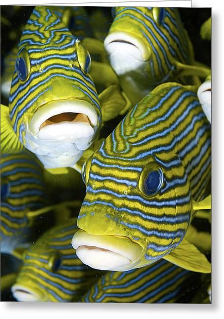 Schooling Sweetlip Fish, Raja Ampat Greeting Card by Jaynes Gallery