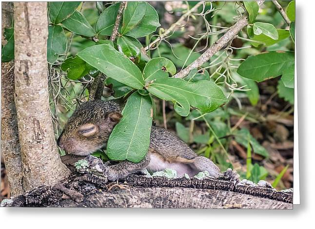 Sciurus Carolinensis Greeting Cards - Sciurus carolinensis Greeting Card by Rob Sellers