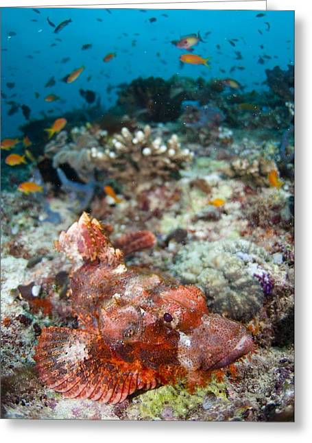 Reef Fish Greeting Cards - Scorpionfish on coral reef Greeting Card by Science Photo Library