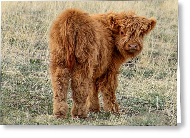 Russett Greeting Cards - Scotch Highland Calf Greeting Card by Dawn Key