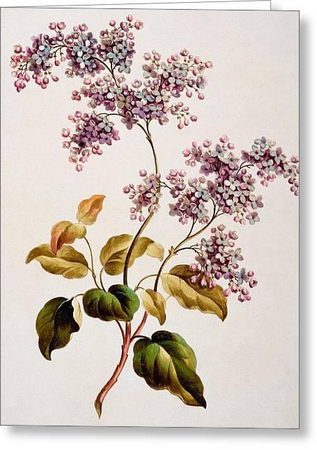Scotch Lilac, Published 1793 Greeting Card by John Edwards